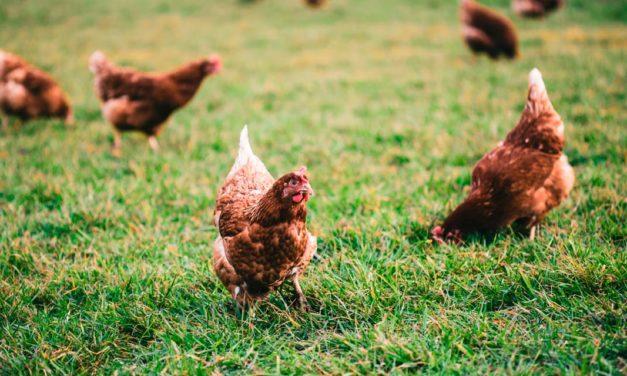 Os cinco passos para o bem-estar avícola