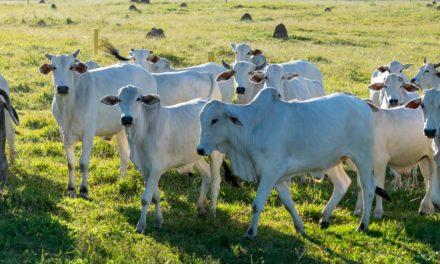 Marfrig apoia pesquisa com novilhas Nelore que comprova a capacidade de produção de carne de qualidade à pasto