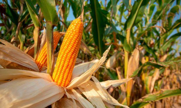 Novos híbridos de milho da Bayer apresentam até 11 sacas a mais por hectare na safra 2020/21