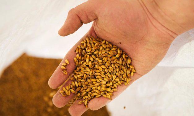Com início do inverno, plantio de cevada se torna alternativa lucrativa para agricultores dos Campos Gerais