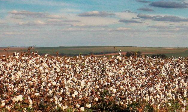 IHARA aposta no algodão e levará nova tecnologia para a 13ª edição do CBA