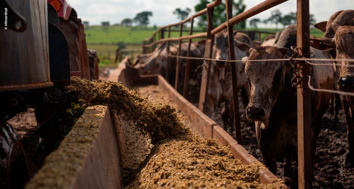 Alta do milho: quais alternativas para otimizar o uso na nutrição animal?