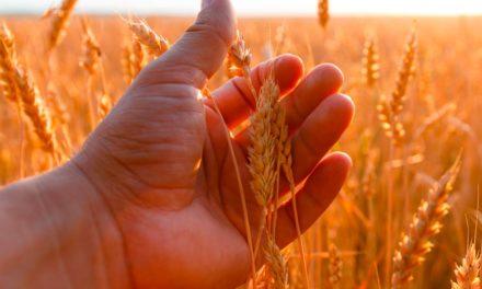 Expectativas positivas para safra de trigo exige investimento dos produtores