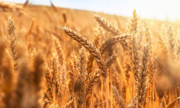 Projeções indicam redução nos números da safra de trigo no Brasil