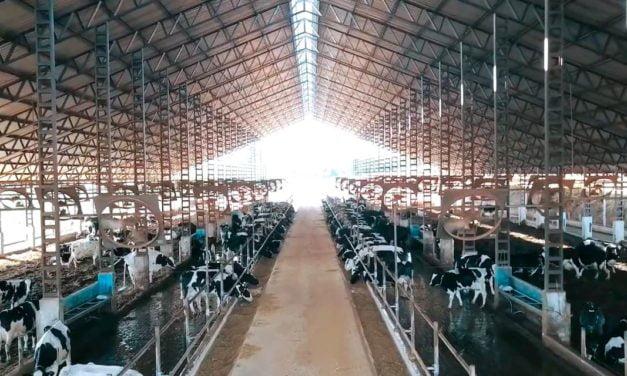 Pecuarista aumenta taxa de prenhez do rebanho leiteiro com monitoramento das vacas