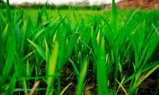 O controle prévio de folhas largas e estreitas no canavial determina o sucesso da produção