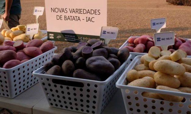 IAC lança as primeiras variedades de batata coloridas do Brasil