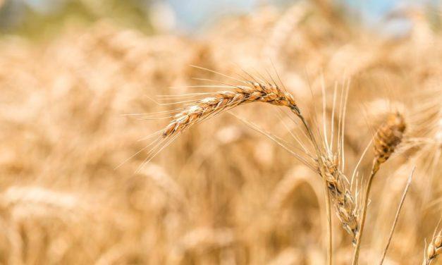 Clima impacta produção mundial de trigo na safra 2021/22