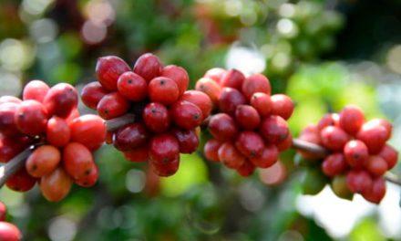 Bioinsumo protege cultivo de café contra perdas pela estiagem