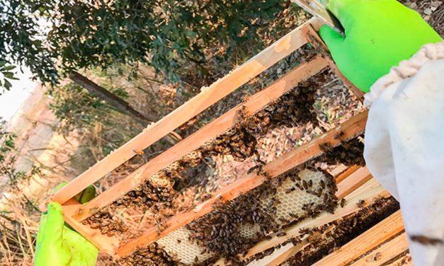 Projeto inédito na região oeste do Estado de São Paulo visa a produção de abelhas rainhas